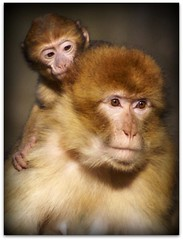 On top of the world (patries71) Tags: baby sony mother aap barbarymacaque berberaap ouwehand specanimal sonyalpha patries71 impressedbeauty natureoutpost vosplusbellesphotos