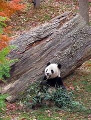 Boo-tee-ful Boy in Fall - 098 (RoxandaBear) Tags: november fall wednesday log panda eating bamboo tai nationalzoo giantpanda 2008 pandas taishan acidreflux yard2 pastpeak impressedbeauty 111208