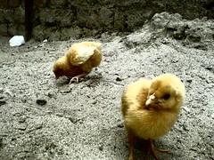 chicks (Gour's) Tags: farm ropar