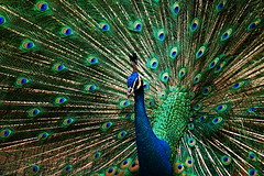 Peacock 2 (ulli_p) Tags: bird art nature beauty animal d50 asia colours nikond50 picturesque birdwatcher inspiredbylove aplusphoto naturewatcher colourartaward imagesofharmony unlimitedphotos qualitypixels bestflickrphotography artofimages