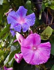 Morning Glories After Rain No,2 (aeschylus18917) Tags: pink flowers flower macro nature rain japan season tokyo waterdrop seasons purple blossom bloom raindrops    morningglory nerima raindrop rainyseason waterdroplet asagao 105mm convolvulaceae ipomoea 105mmf28  tsuyu ipomoeapurpurea   japanesemorningglory solanales 105mmf28gvrmicro d700 convulvulaceae nikkor105mmf28gvrmicro  baiu danielruyle aeschylus18917 danruyle druyle