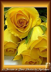 FBI: #25 Friendship Roses- LETS TALK ABOUT LOVE.... (Frozen in Time photos by Marianne AWAY OFF/ON) Tags: flowers roses flower macro nature rose yellow yellowflowers fbi yellowroses arosebyanyothername favorites5 friends~ framedphotos flowerlovers masterphotos languageofflowers nationalgeographicwannabes faithfulflickrfriends flowerpicturesnolimits rosarosae favoritesbyinterestingness heartawards masterphotosgroup delightfulroses flickrmacroaward flowerorfoliagedetail flickrgoldenphoto flowersallkinds rosaceaetherosefamily unlimitedphotosnorules ilovemypics flowersarefabulous mimamorflowers natureunlimitedpublicgroupforever photowatermarkframes beautifulshot masterflowerflormaestra flickrflorescloseupmacros naturegreenstar letstalkaboutloveandpeaceinnature theflowerbasket flowersexcellentcloseups flickrgiants 4loveandpeaceroseaward nationalgeographiswannabes