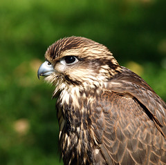 Musebussard / Common buzzard (schreibtnix on n' off) Tags: nature birds animals closeup tiere searchthebest natur buzzard vgel birdsofprey nahaufnahme buteobuteo greifvgel naturesfinest commonbuzzard musebussard olympuse1 bussard abigfave avianexcellence flickrlovers