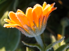 Cold and frosty morning (Rachael Hickling) Tags: autumn winter orange white flower macro green nature fleur beautiful garden leaf flora frost natural bright image clarity frosty petal crisp marigold macroflowers calendulaofficinalis potmarigold cusp digitalcameraclub flowerscolors flickrsbest flickrphotoaward fbdg floweria macroflowerlovers awesomeblossoms hairygitseli