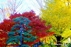 Tricolor Trees at Rikugien Gardens, Tokyo Japan (_takau99) Tags: park trip travel autumn trees red vacation holiday tree fall yellow topv111 japan topv2222 garden lumix japanese tokyo leaf ginkgo maple topv555 topv333 december topv1111 topv999 topv444 topv222 autumnleaves panasonic explore momiji tricolor   topv777  2008 topv666 bunkyo topf10 topf15 koyo topv888 rikugien  bunkyoku topf5 fx30   takau99  dmcfx30 rikugiengardens