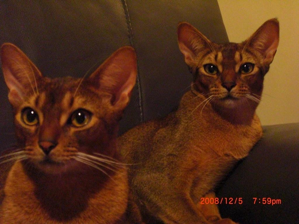 Abyssinian Cat Hawaii