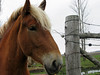 Yearning (Roofer 1) Tags: horse pasture belgian workhorse freddiemac
