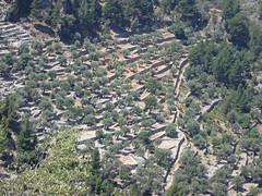 Terassen und Olivenbäume