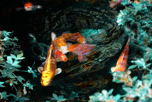 goldfish in Japanese garden