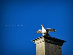 Scream (applewei) Tags: blue sky art birds norway canon norge kunst powershot we himmelen lesund bl s5is applewei