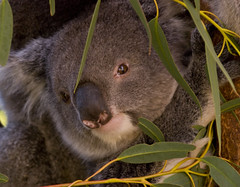 Koala having a feed (Nikonsnapper) Tags: leaves perth koala eucalyptus cavershamwildlifepark nikond80 australia2008 project3662008april exploreapril32008458 nikonsnapper