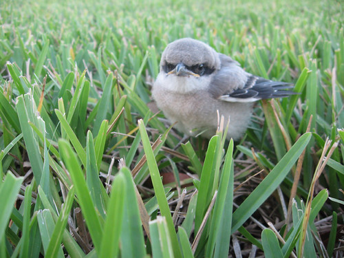 florida everyone forgot loggerhead shrike chicks