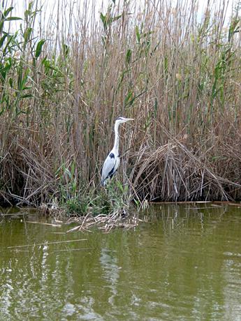 albufera-crane