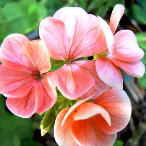 Birthday Geraniums