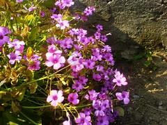 In the garden... (Elanorya) Tags: flower verde nature rosa fiori terra acqua aria giardino muretto svago abigfave