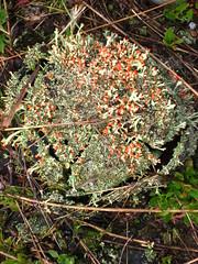 British soldier lichen (cherdt) Tags: michigan lichen cladoniacristatella hootowl britishsoldierlichen matchsticklichen