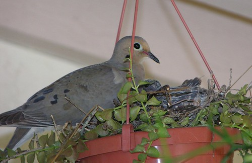Doves in my dischidia pot