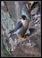 ADULT MALE PEREGRINE FALCON (1000 MM LENS) (spw6156) Tags: copyright male lens gold woods adult wildlife steve falcon mm nationaltrust 1000 falcons raptors waterhouse peregrine plymbridge digitalcameraclub golddragon cannquarry httpsplashofstylecomsos dragondaggerphot spw6156 stevewaterhouse plymperegrineproject plymbridgeperegrinefalcons copyrightstevewaterhouse
