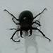 U.K.'s largest beetle