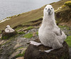 Saunders Island Wildlife (rockhoppermedia) Tags: uk bird london island wildlife chicks falklandislands nesting blackbrowedalbatross