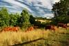 Group Dinner (MilkaWay) Tags: grass shadows cows pasture uga grazing eveninglight universityofgeorgia caes clarkecounty beefcattle ruralgeorgia limousins animalanddairyscience