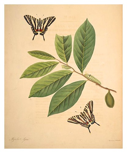 01-Illustration of Papilio Ajax. Annona Palustris 4
