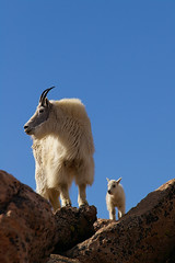0625 (Eric Wengert Photography) Tags: mountaingoat oreamnosamericanus
