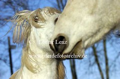lz290105(78) (Lothar Lenz) Tags: schnee winter horse caballo cheval louis action berber cavalo pferd hest toben equus paard hst hestur mabrouk konj hobu zirgs mangalargamarchador lotharlenz