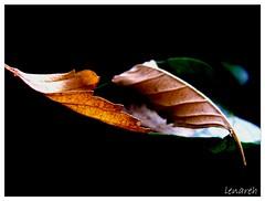 the leaves affair - 3