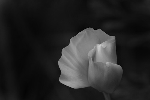 California Poppy in black & white