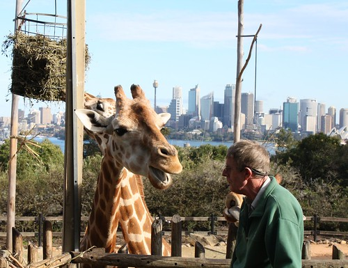 Giraffe talking to Trainer
