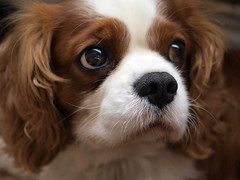 Oscar - Doe eye'ed (oscar_spanner) Tags: dogs oscar olympus spaniels cavalierkingcharles 1454mm e520