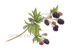 Blackberry 'Thornless Evergreen' (Sigrid Frensen) Tags: art fruit blackberry drawing coloredpencil botanicalart