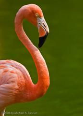A Pink Flamingo (Michael Pancier Photography) Tags: pink birds animals zoo miami flamingo fineartphotography naturephotography seor metrozoo naturephotographer floridaphotographer michaelpancier michaelpancierphotography colorphotoaward avianexcellence wwwmichaelpancierphotographycom seorcohiba
