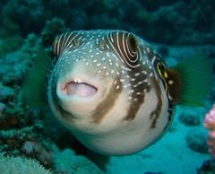life fish specimen arothron hispidus taxonomy:binomial=arothronhispidus