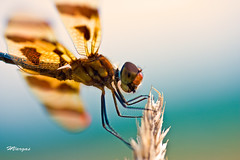 Dragonfly_0220.jpg (HVargas) Tags: insectos flower color macro beautiful closeup canon garden lens eos newjersey interesting flickr branch dragonfly flor insects fave botanicalgarden photoshopelements efs60mm canoneos5d canonlens canonmacro exemplary amazingshot canonef180mm flowerotica flickrsbest fantasticflower digifoto abigfave flowertulip ef180mm aplusphoto digitaleeanalogico flickrplatinum 07663 flickrenvy diamondclassphotographer flickrdiamond canoneos40d excellentphotographerawards flickrphotoaward newjerseybotanicalgarden canon40d amazinshots flowersmacroworld ef180mmf35lmacrousm flowersallkinds amazinglyaxed canonmacroef180mm auniverseofflowers floresprlapaz efmacro180mm