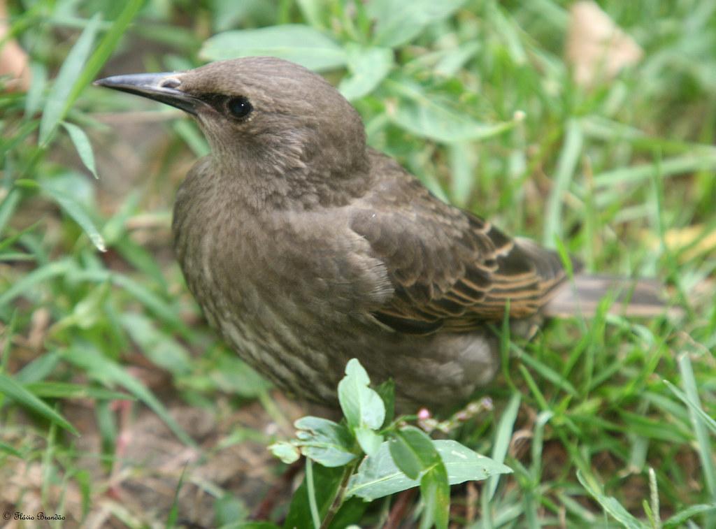 Série de Nova Iorque: Estorninho-comum (Sturnus vulgaris) no Central Park, em Manhattan - New York's series: a young European Starling (Sturnus vulgaris) at Central Park, Manhattan - IMG 20080726 8501