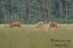 Red Deer - Feeding Stag (johan_van_hoof) Tags: nature nikon stag wildlife natuur reddeer veluwe hert cerf herten natuurpunt nikond3 nikkor300mm28vr feedingstag