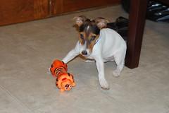 Grrr (orange bubbles) Tags: terrier jackrussell atticus