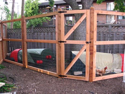 My City Chickens Windycitygal
