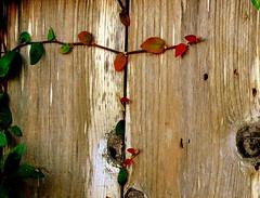 A Humble Vision ~ A Small Country That Thrives (hurleygurley) Tags: santacruz macro leaves fence ilovenature justice democracy humanity rgb obama hg hurleygurley botanica biden elisabethfeldman obamabiden hgdreams