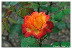 Happy colors! (Amelien (Fr)) Tags: park red paris flower macro fleur rose yellow jaune rouge 50mm nikon parc montsouris d300 af5018d