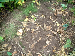 枝豆を刈り取った後
