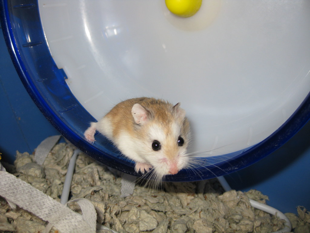 hamster research paper Hamsters, research was initiated to investigate the reason for these differences and to determine their significance for human health the first phase of the research established that methylene chloride is metabolised by two pathways.