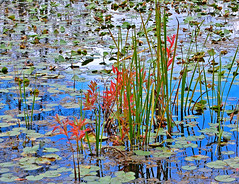 Marsh reflections (S Alex Maier) Tags: park ohio reflection art love water reflections watercolor painting happy fallcolor live steve group bluewater happiness beaver vision national monet valley lilly zen cuyahoga impressionism reflective grateful marsh meditation bog dharma reflexions gratitude impression impressionist towpath lillypads lillys cuyahogavalleynationalpark maier cvnp towpathtrail liveinthemoment d40 waterlillys peninsulaohio szalays abigfave visiongroup photofaceoffwinner theperfectphotographer goldstaraward ourmasterpieces rubyphotographer vision100 grouptripod goldenmasterpiece weltenshaung magicunicornverybest magicunicornmasterpiece