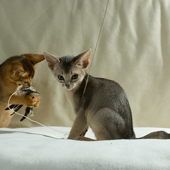 kitten play flash feather Usual Abyssinian Kittens