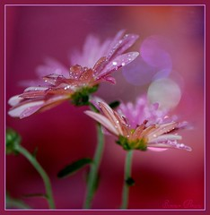 pink emotions (Smme eeZe) Tags: flower drops bokeh forgetmenot soe theraven pinkprincess masterphotos mywinners abigfave theunforgettablepictures pinkemotions pinksunshine mmmwaahhhhhhh dawnisbreaking awakeningoflove