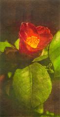 CAMELIA TEMPRANA (Yolanda Carbajales) Tags: art stamp engraving printmaking camelia camellia grabado gravat gravure laflormasbella mywinners mezzotinta maneranegra gravado grabadosdeyolandacarbajales grabadoresgallegos gravadoresgalegos