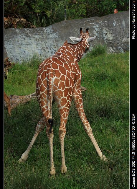 長頸鹿_Giraffe_06
