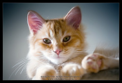 Tiger's kitten :) (SdR Art Photography) Tags: bw cats cat canon eos eyes kitten sdr sweet ears occhi siberian gatto gatti pelo coda furr tot 70200f4 siberiano llens orecchie 40d kittenmagazine kissablekat bestofcats impressedbeauty kittyschoice pet1000 pet2000 theperfectphotographer goldstaraward catmoments 100commentgroup micicasa scattifotografici atomicaward wwwluxintenebracom sergiodelrosso httpwwwluxintenebracom wwwluxintenbracom wwwsergiodelrossocom